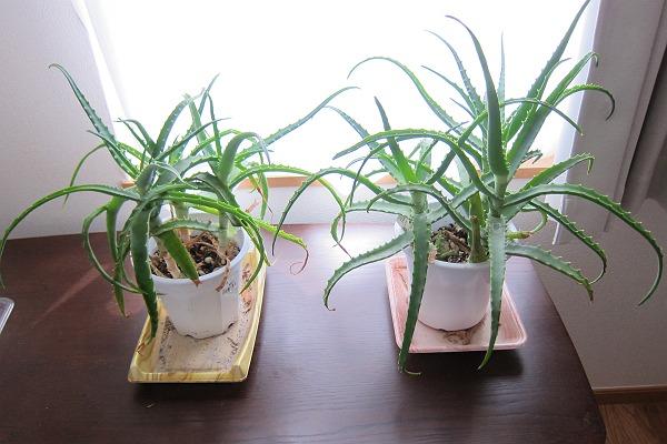 2つのアロエの植木鉢